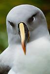 Grey-headed albatross, South Georgia Island
