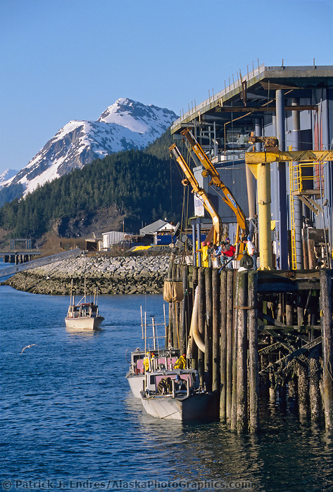 Commercial fishing bowpicker drift net fishermen unload the days catch at the seafood processing dock in the small coastal fishing community of Cordova, Prince William Sound, Alaska