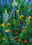 Blue Lupin, Arrowhead Groundsel, Indian Paintbrush, Corn Lily,  Stanislaus National Forest, Sierra Nevada, California