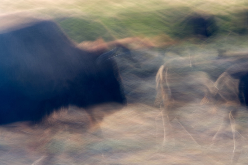 Buffalo running abstract. Yellowstone National Park, WY