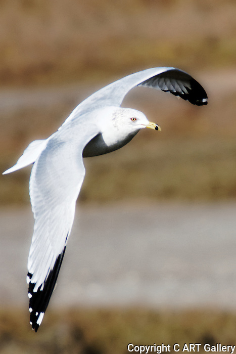 Soaring Seagull 1, Upper Newport Bay, CA