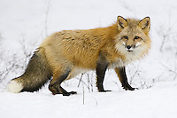 Red fox watching intently while standing on the snow covered ground - CA