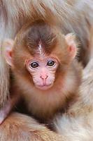 Baby of Japanese Macaque, Macaca fuscata. Nagano Pref. Japan Nikon D1x, AF-S 80-200mm