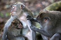 A macaque monkey grooms a female macaque while she breast feeds her infant in the Sacred Monkey Forest in Ubud on the island of Bali in Indonesia.