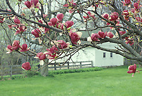 White wood barn with blooming magnolia trees in field of green grass, Midwest USA