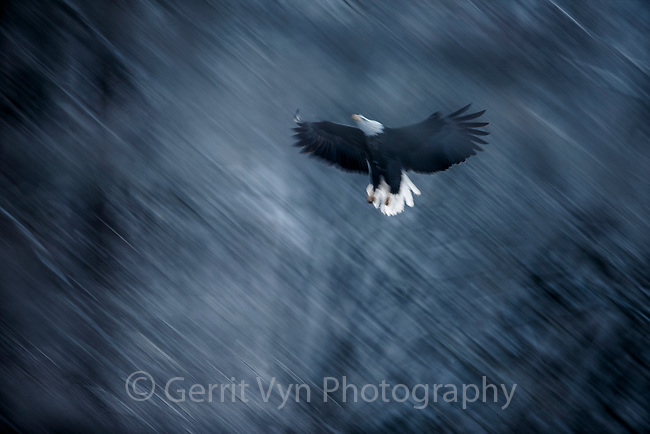 Bald Eagle (Haliaeetus leucocephalus) landing in river side cottonwoods. Southeast, Alaska. December.