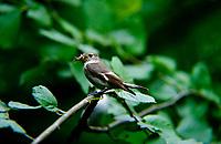 Halsbandschnäpper, Halsband-Schnäpper, Weibchen, Ficedula albicollis, collared flycatcher, female, Le Gobe-mouche à collier