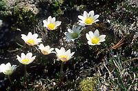 Monte-Baldo-Windröschen, Monte Baldo-Anemone, Baldo-Windröschen, Tiroler Windröschen, Anemone baldensis