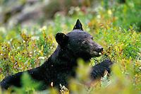 Black bear (Ursus americanus) eating huckleberries, Pacific NW, Fall.