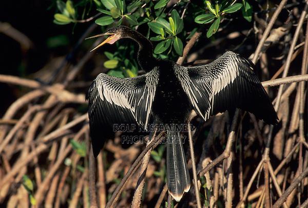 Anhinga, Anhinga anhinga, male calling and drying wings on mangrove tree, Ding Darling National Wildlife Refuge, Sanibel Island, Florida, USA, Dezember 1998