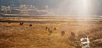 A small bison herd wanders through the Lamar Valley. I removed spot of lens flare from this image in post.