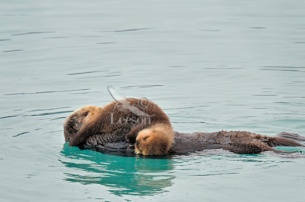 Alaskan or Northern Sea Otter (Enhydra lutris) mother with young pup.
