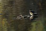 Wood duck standing in water