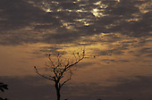 Amazon, Brazil. Birds perched on a leafless tree at dusk; Xingu, Para State.