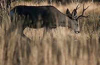 Mule Deer, Utah.