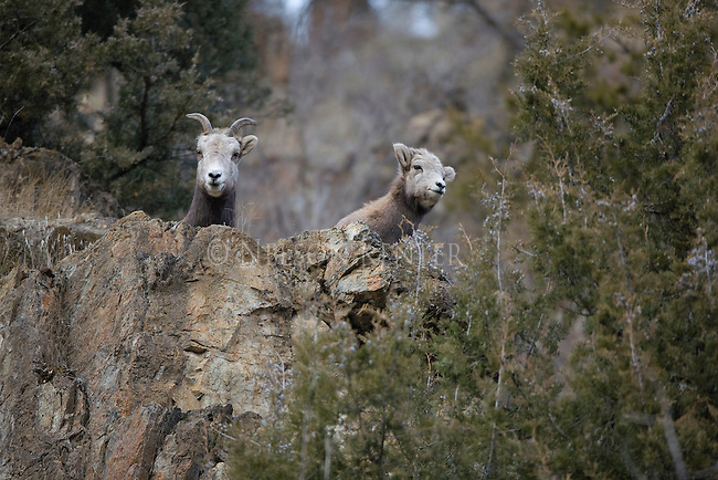 Bighorn Sheep ewe and lamb on rocky cliff in Montana