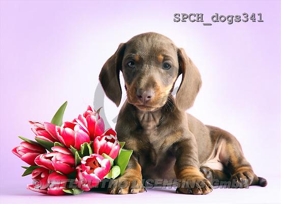 Xavier, ANIMALS, dogs, photos(SPCHdogs341,#A#) Hunde, perros
