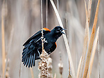 Red Winged Blackbird calling.