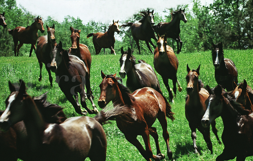 Herd of Arabian horse mares thunder down a rise.