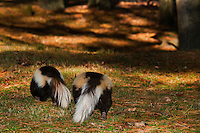 Striped Skunks (Mephitis mephitis) range through southern Canada and most of USA. Fall, Nova Scotia, Canada.