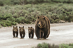 Grizzly 399 and her three cubs walk down a dirt road in Grand Teton National Park, Wyoming.