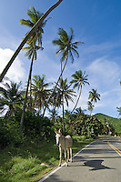 Coral Bay Donkey.St. John.U.S. Virgin Islands