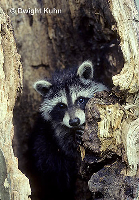 MA25-035z  Raccoon - young raccoon in hollow tree cavity - Procyon lotor
