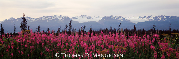 A meadow of fireweed blooms below a glacier covered range on the Kenai Peninsula in Alaska.