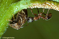 1T07-018z  Treehopper brooding over eggs while being milked by an ant - mutualism -  Publilia convava