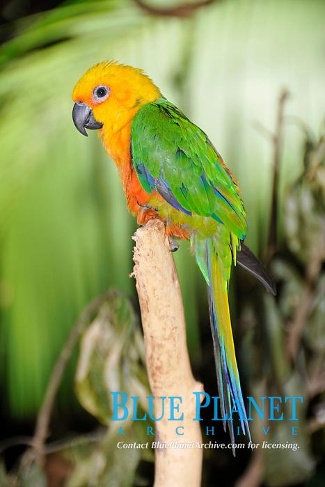 Jandaya parakeet, Aratinga jandaya, Foz do Iguaçu, Parana, Brazil
