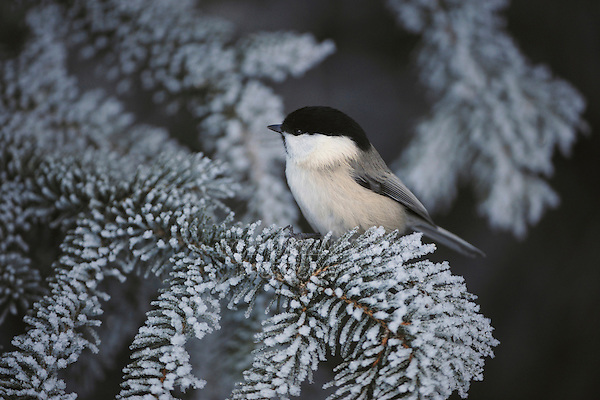 Willow Tit (Parus montanus), adult on frost covered Norway Spruce by minus 15 Celsius, St. Moritz, Switzerland, December 2007