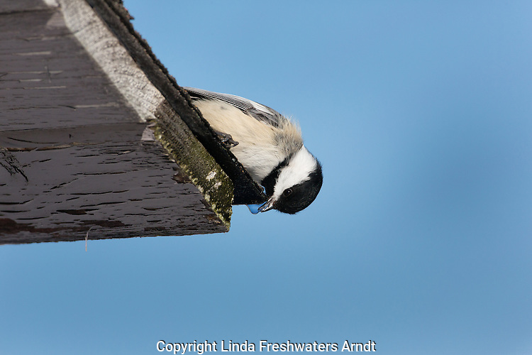 Black-capped chickadee drinking melting snow running off of a roof top