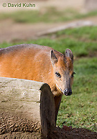 0601-1104  Red-flanked Duiker, Cephalophus rufilatus  © David Kuhn/Dwight Kuhn Photography