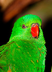 Scaly-breasted lorikeet, Trichoglossus chlorolepidotus