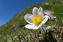 Spring Pasque Flower {Pulsatilla vernalis} Nordtirol, Austrian Alps. June.