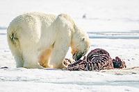 polar bear, Ursus maritimus, feeding on Atlantic walrus, Odobenus rosmarus rosmarus, on ice, Spitsbergen, Svalbard, Norway, Arctic Ocean