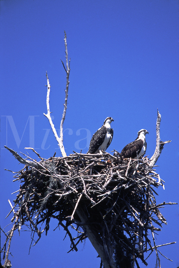 Two Osprey's in a platform nest in the Florida Everglades.