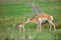 Young pronghorn antelope (Antiloapra americana) fawns with mother, Western U.S. June.