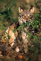 A shy gray wolf peers over brush at photographer.