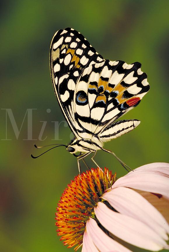 "PAPILIO DEMOLEUS, """"Checkerspot Swallowtail Butterfly"""", on Purple Coneflower, Audubon Zoo. Subfamily - Papilioninae; Family - Papilionidae; Order - Lepidoptera; Class - Insecta; Phyllum - Arthropoda; Kingdom - Animalia. NEW ORLEANS LOUISIANA USA AUDUBON ZO"