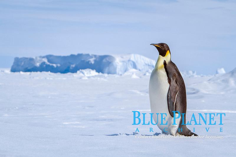 emperor penguin, Aptenodytes forsteri, adult, on sea ice near Snow Hill Island in the Weddell Sea, Antarctica, Southern Ocean