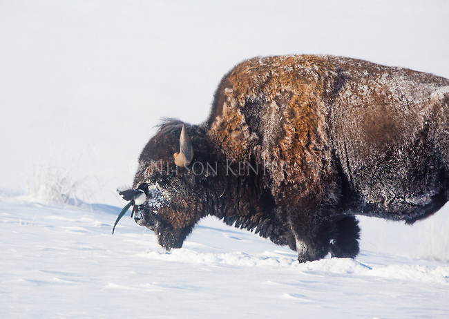 A magpie lands on the face of a bison on a frigid winter morning while the buffalo was digging through snow to feed