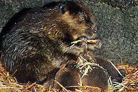 Beaver (Castor canadensis) mother and young feeding inside lodge.