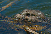 Northern River Otter (Lontra canadensis) kits playing along edge of lake.  Western U.S., June..