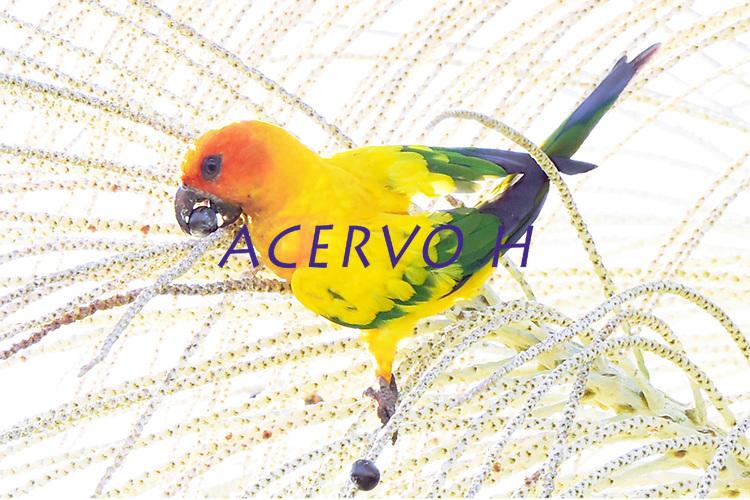 Jandaia amarela<br /> Aves da Amazônia.<br /> Roraima, Brasil.<br /> Foto Jorge Macedo