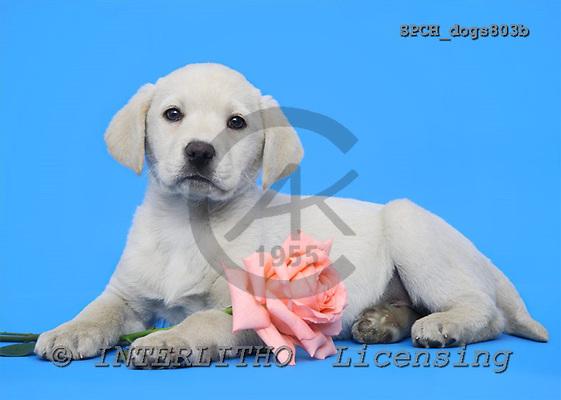 Xavier, ANIMALS, dogs, photos, SPCHdogs803b,#A# Hunde, perros