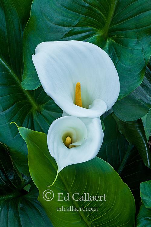 Calla Lily, Giant White, Zantedeschia Aethiopica, Cypress Garden, Mill Valley, California