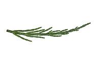 Queller, Europäischer Queller, Salicornes, Glasschmalz, Salicornia europaea, Salicornia europaea agg., Glasswort, common glasswort, La Salicorne d'Europe. Blatt, Blätter, leaf, leaves