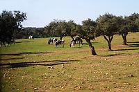 cows grazing on a field herdade de sao miguel alentejo portugal
