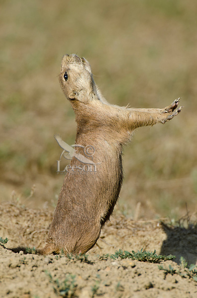 """Black-tailed Prairie Dog (Cynomys ludovicianus) exhibiting a """"jump-yip"""" signal.  Northern Great Plains, summer."""